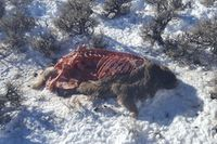 The scavenged carcass of an illegally shot buck mule deer with the head removed south of Pinedale. Photo courtesy Wyoming Game & Fish Department.